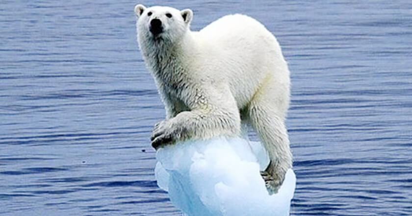 polar bear stuck on ice with water