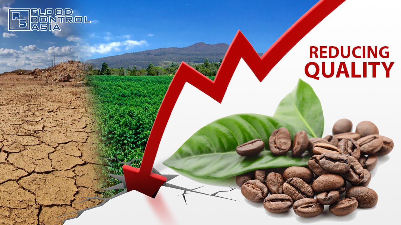 Global warming and drought affects coffee's growth and quality conditions